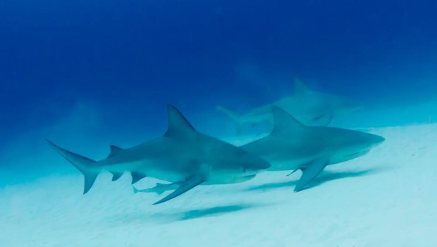 Bull Shark season in Playa del Carmen