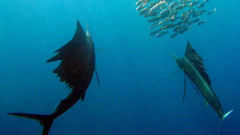 Swim With Sailfish