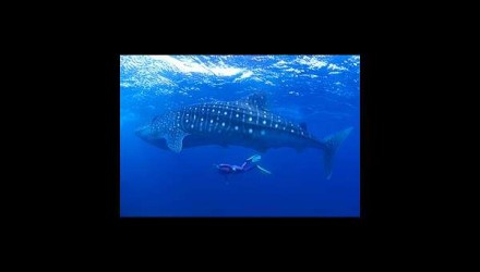 Whale Sharks in Isla Mujeres